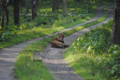 Free Stock Photo of Resting Tiger at Jungle Path