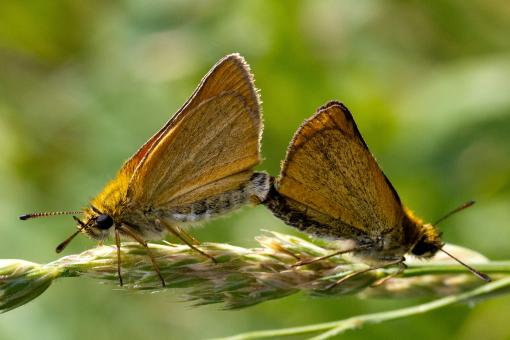 Free Stock Photo of Skipper Butterfly