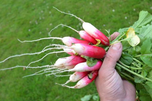Free Stock Photo of Red radishes