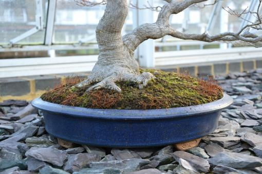 Free Stock Photo of Maple bonsai tree and container
