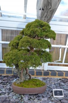 Free Stock Photo of Juniper bonsai tree