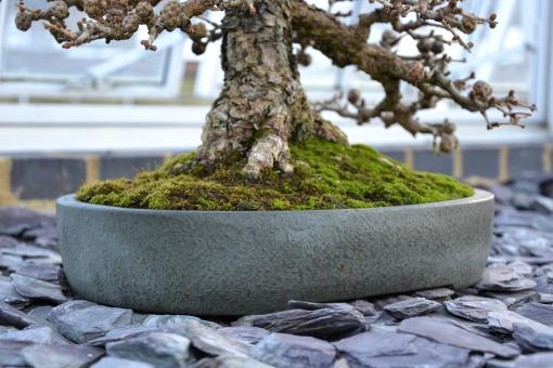 Free Stock Photo of Larch bonsai tree