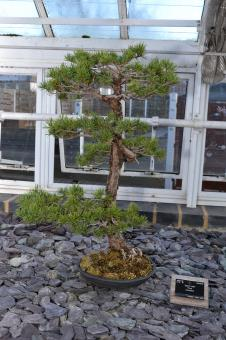 Free Stock Photo of Pine bonsai tree