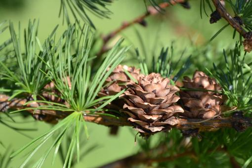 Free Stock Photo of Japanese larch