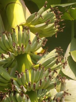 Free Stock Photo of Banana Bunch