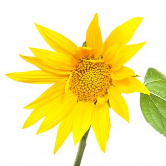 Free Stock Photo of Sunflower isolated on white