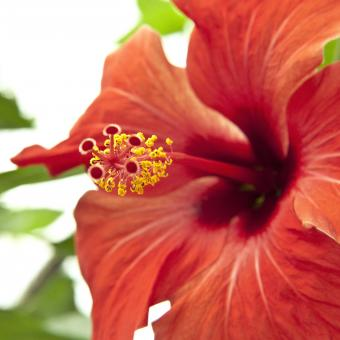 Free Stock Photo of Red Hibiscus