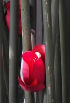 Free Stock Photo of Red Rose in Bamboo