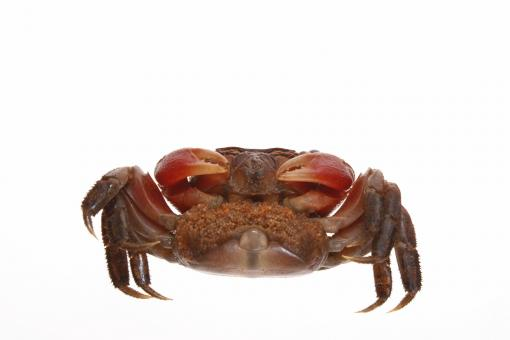 Free Stock Photo of Crab