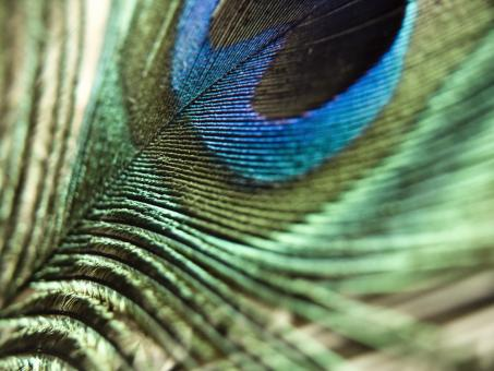Free Stock Photo of Peacock feather macro