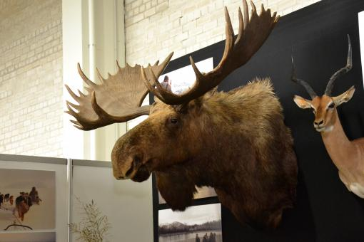 Free Stock Photo of Moose trophy head