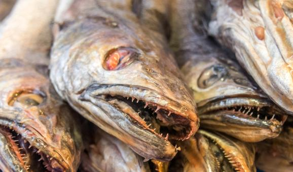 Free Stock Photo of fish close up