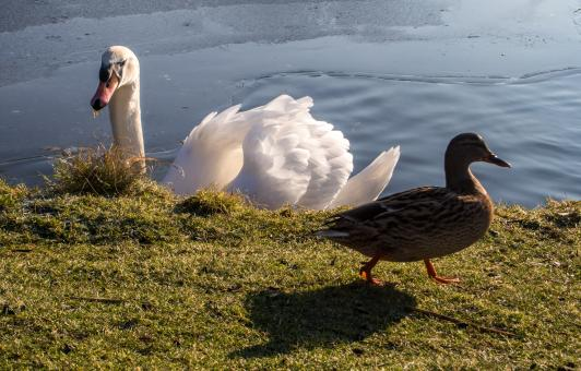Free Stock Photo of white swan and duck