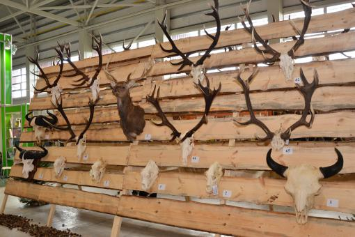 Free Stock Photo of Trophy antlers