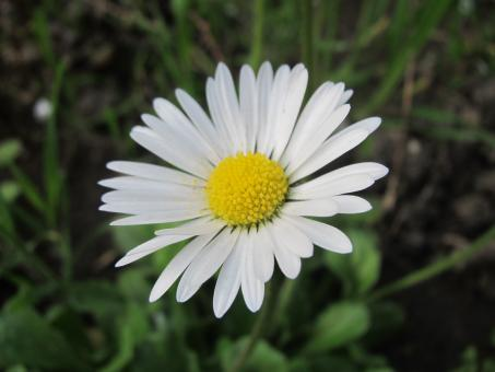 Free Stock Photo of White Daisy flower