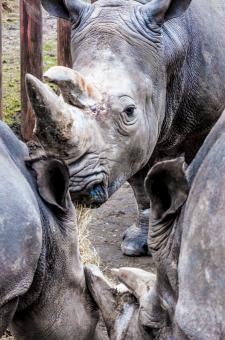 Free Stock Photo of Rhinoceros in a zoo
