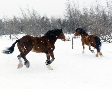 Free Stock Photo of Horses in the snow