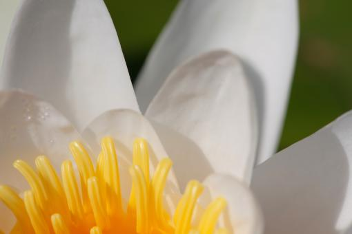 Free Stock Photo of White lily