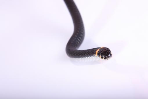 Free Stock Photo of Snake