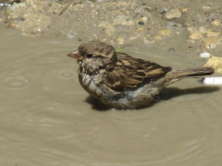 Free Stock Photo of Sparrow taking a bath
