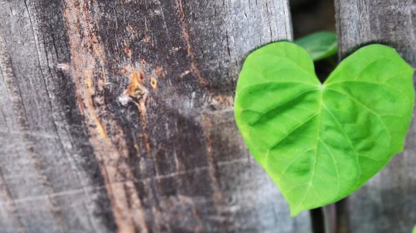 Free Stock Photo of Heart Leaves over Wood