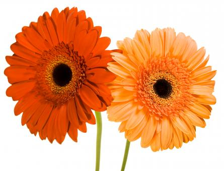 Free Stock Photo of Gerberas