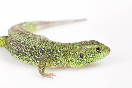 Free Stock Photo of Green Lizard