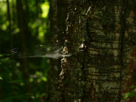 Free Stock Photo of Spiderweb in tree