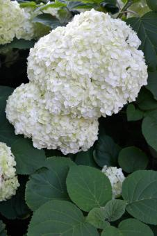 Free Stock Photo of Corymbs of smooth hydrangea