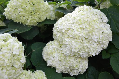 Free Stock Photo of Inflorescence of smooth hydrangea