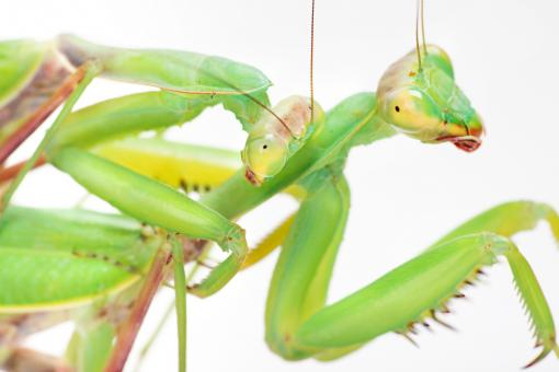 Free Stock Photo of Praying mantises