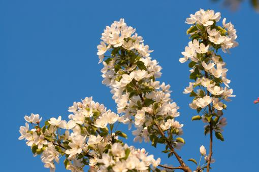 Free Stock Photo of blossoming tree