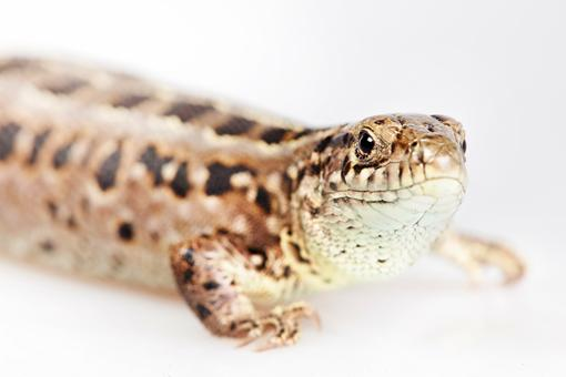 Free Stock Photo of Brown Lizard Close Up