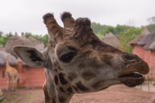 Free Stock Photo of Close Up of Giraffe