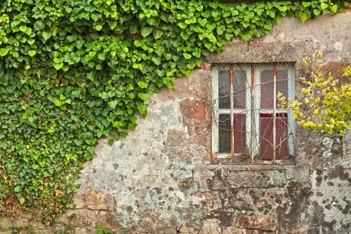 Free Stock Photo of Ivy Wall - HDR