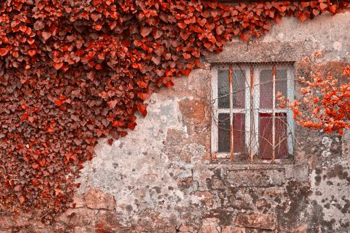Free Stock Photo of Red Ivy Wall - HDR
