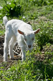 Free Stock Photo of Young goat