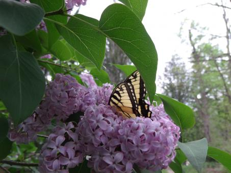 Free Stock Photo of Butterfly and Lilacs