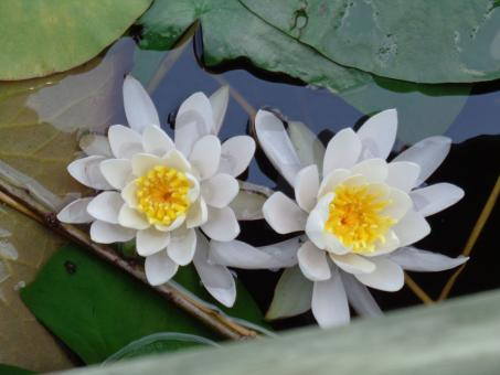 Free Stock Photo of Waterlilies