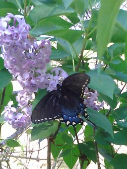 Free Stock Photo of Butterfly on Lilac