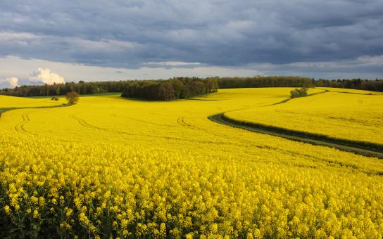 Free Stock Photo of Rapeseed field