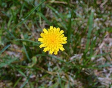 Free Stock Photo of Dandelion Flower