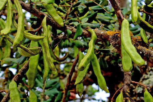 Free Stock Photo of Green Carob Tree seed pods