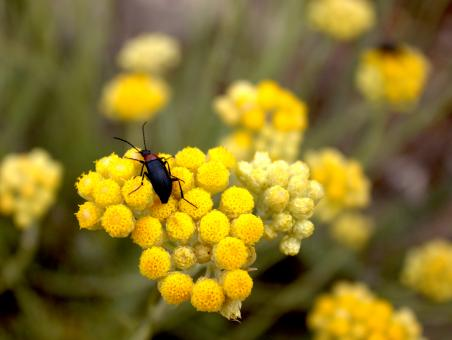 Free Stock Photo of Beetle sits on yellow flower
