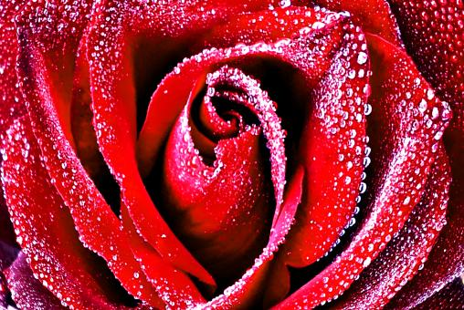 Free Stock Photo of Red rose with dew drops closeup