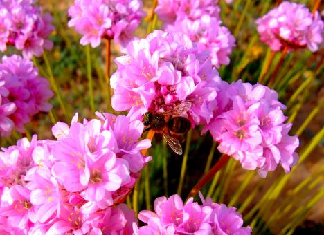Free Stock Photo of Honeybee pollinating Spiny Thrift