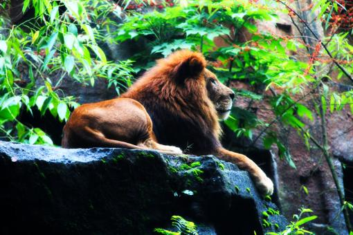 Free Stock Photo of King of the Jungle