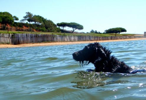 Free Stock Photo of Portuguese Water Dog Swimming vigorously