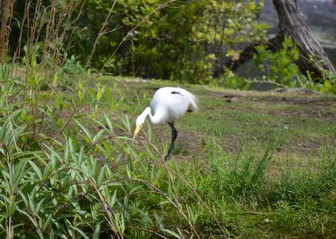 Free Stock Photo of Great White Heron