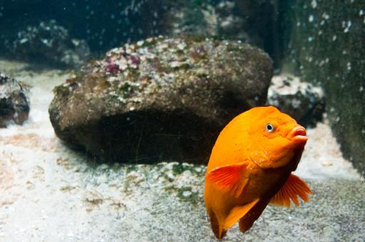 Free Stock Photo of bright orange fish